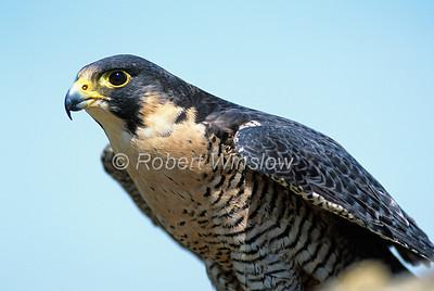 Male, Peregrine Falcon, Falco peregrinus, Controlled Conditions