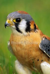 Male, American Kestrel, Falco sparverius, North America, Controlled Conditions