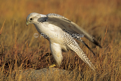 Gyrfalcon, Falco rusticolus, White Adult, Controlled Conditions