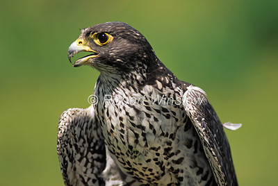 Gyrfalcon, Falco rusticolus, Dark Adult, North America, Controlled Conditions