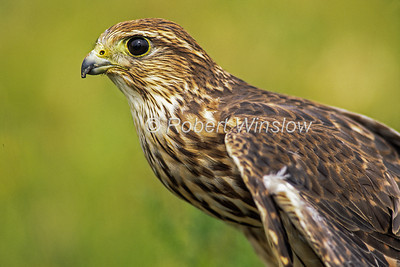 Female, Merlin, Falco columbarius, North America, Controlled Conditions