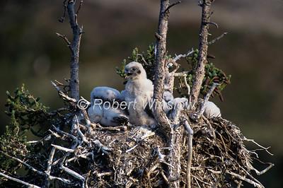 Gyrfalcon, Falco rusticolus, Chicks in a Nest, Northwest Territories, Canada, North America