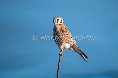 American Kestrel, Female, Falco sparverius, Bosque del Apache National Wildlife Refuge, New Mexico, USA, North America