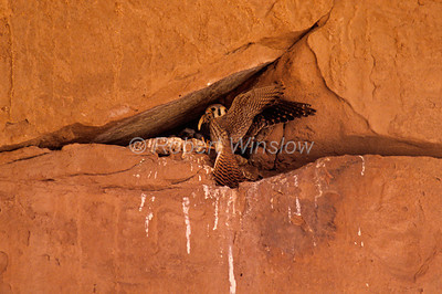 Female, Peregrine Falcon, Falco peregrinus, Landing at Nest with Food, Arches National Park, Utah, USA, North America