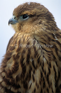 Merlin, Falco columbarius, Immature Female, North America, Controlled Conditions