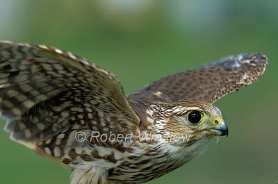 Female, Merlin, Falco columbarius, North America, Controlled Conditions