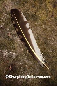 Northern Flicker Feather, Dane County, Wisconsin