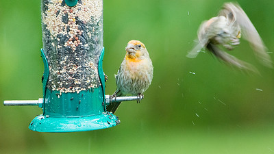 Irregular male House Finch compound photo