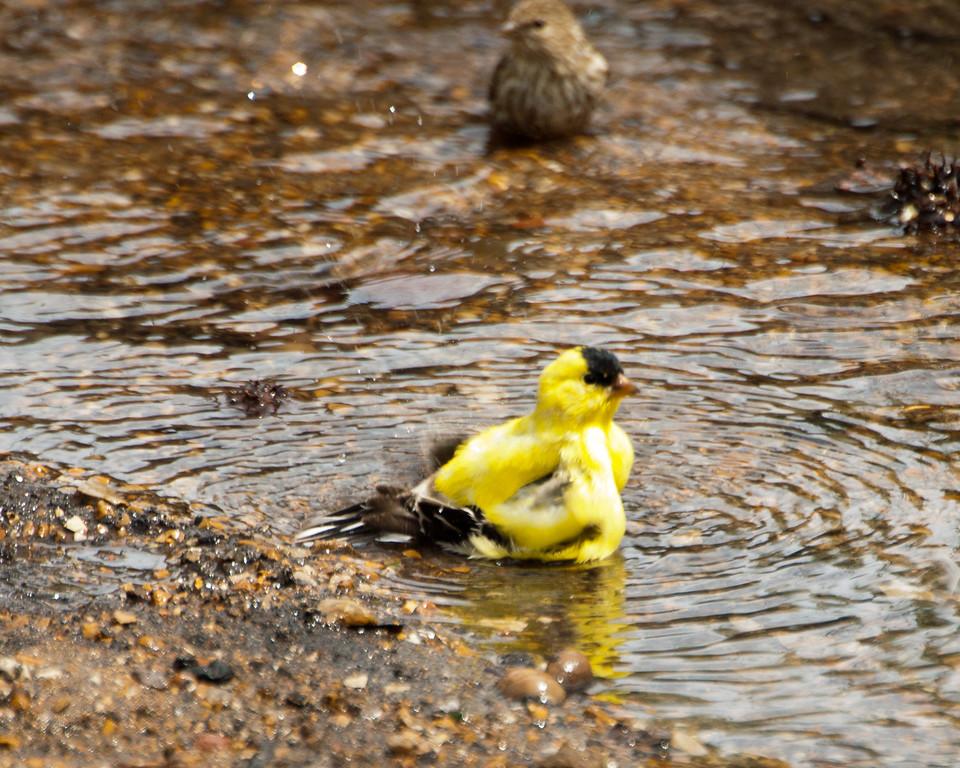 American Goldfinch (m) Bathing