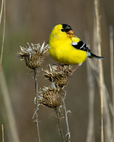 American Goldfinch (adult m)