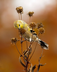 American Goldfinch (m juv. or fall plumage) 11