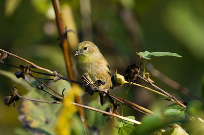 American Goldfinch in Fall Plumage