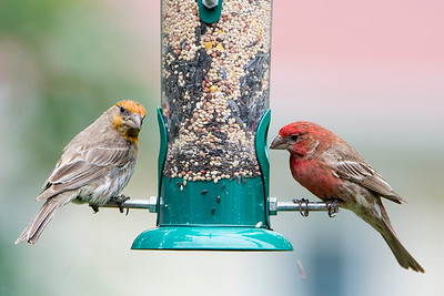 Irregular male and regular male House Finch