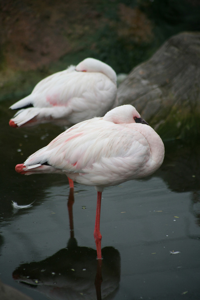 Flamingo, Phoenicopterus ruber, at Bird Sanctuary, Nature's Valley, Garden Route, South Africa