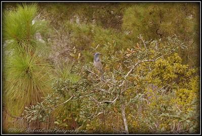 2009-11-16_P1050569_Florida Scrub-Jay,Melbourne,Fl