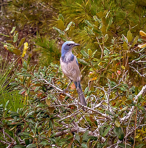 Florida Scrub-Jay...© PhotosRUs2008.com...Bob Lester