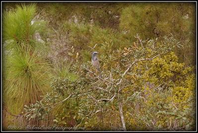 2009-11-16_P1050571_Florida Scrub-Jay,Melbourne,Fl
