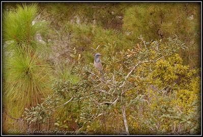 2009-11-16_P1050570_Florida Scrub-Jay,Melbourne,Fl