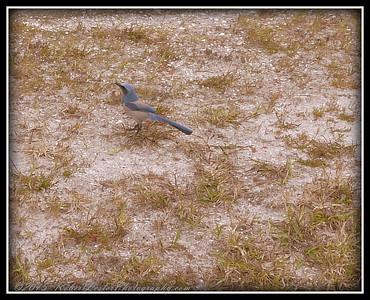 2009-11-16_P1050617_Florida Scrub-Jay,Melbourne,Fl