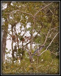 2009-11-16_P1050614_Florida Scrub-Jay,Melbourne,Fl