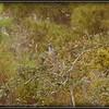 2009-11-16_P1050565_Florida Scrub-Jay,Melbourne,Fl