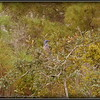 2009-11-16_P1050567_Florida Scrub-Jay,Melbourne,Fl