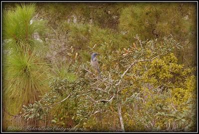 2009-11-16_P1050568_Florida Scrub-Jay,Melbourne,Fl