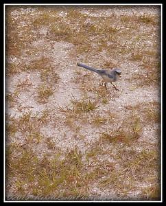 2009-11-16_P1050616_Florida Scrub-Jay,Melbourne,Fl