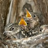 Spotted flycatcher's babies