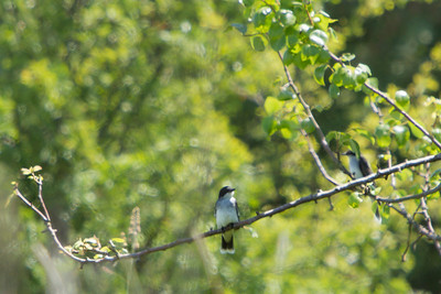 Eastern Kingbird, Marymoor, 2013