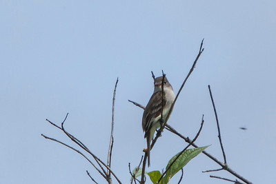 Willow Flycatcher, 2011