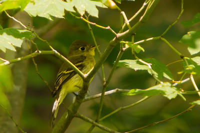 Pacific-slope Flycatcher, 2013