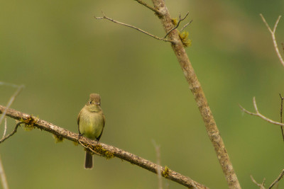 Pacific-slope Flycatcher, 2014