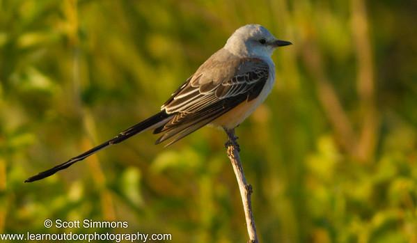 Scissor-tailed Flycatcher