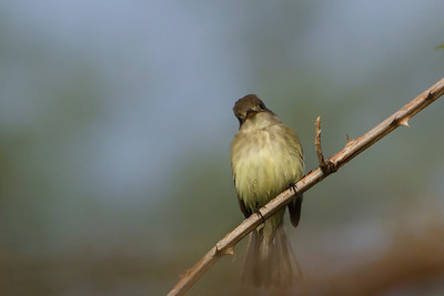 Willow Flycatcher, 2013