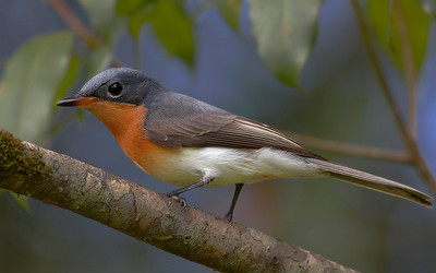 Flycatchers and Fantails