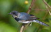 Immature male Leaden Flycatcher