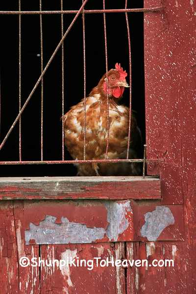 Chicken in the Window, Muscatine County, Iowa