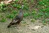 Wild Turkey Hen, Dane County, Wisconsin