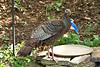 Wild Turkey Hen at Birdbath, Dane County, Wisconsin