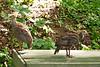 Wild Turkey Poults in Birdbath, Dane County, Wisconsin