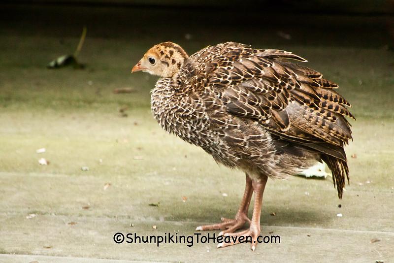 Wild Turkey Poult, Dane County, Wisconsin