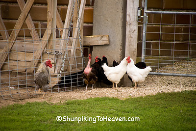 Chickens in the Barnyard, Trempealeau County, Wisconsin