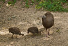 Wild Turkey Hen and Poults, Dane County, Wisconsin