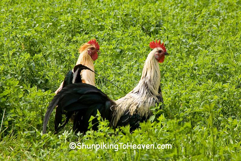 Roosters in an Alfalfa Field, Houston County, Minnesota