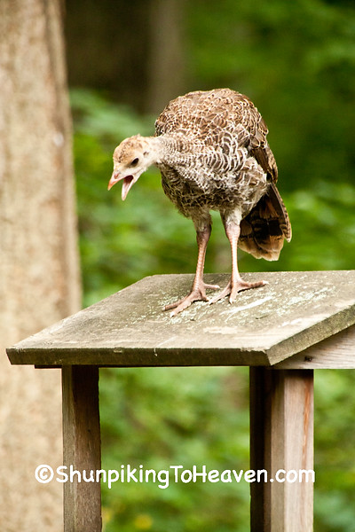 Wild Turkey Poult on Birdfeeder, Dane County, Wisconsin