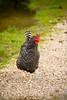 Proud Rooster, Red Oak II, Jasper County, Missouri