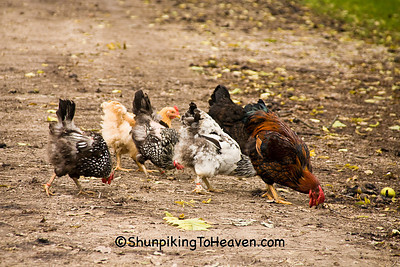 Chickens at Historic Forestville, Filmore County, Minnesota