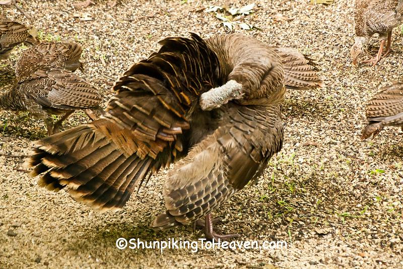 Wild Turkey Hen Preening, with Poults, Dane County, Wisconsin