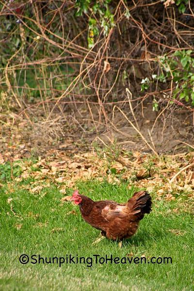 Free-Range Chicken, Sauk County, Wisconsin